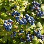 Driesvenplant happy with Ekote Blueberry Fertilizers
